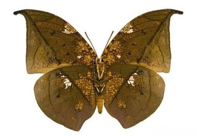 borboletas-que-sao-mestres-da-camuflagem-2