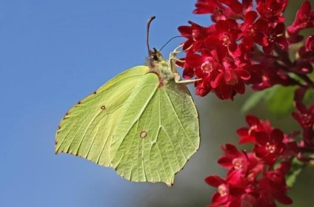 borboletas-que-sao-mestres-da-camuflagem-3
