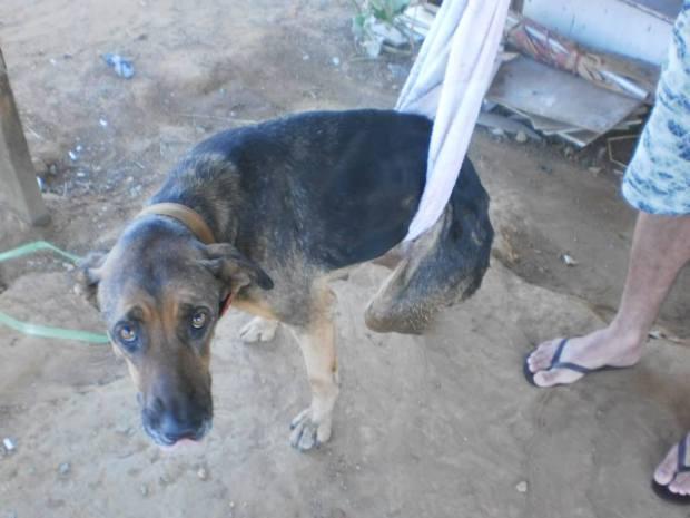 """""""Em busca de um lar"""". As imagens da cadela já foram compartilhadas por mais de 400 pessoas em Goiânia."""