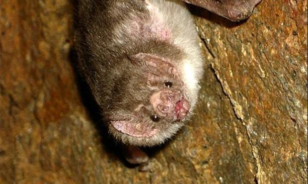 Morcego é diagnosticado com raiva no Aldeia do Vale