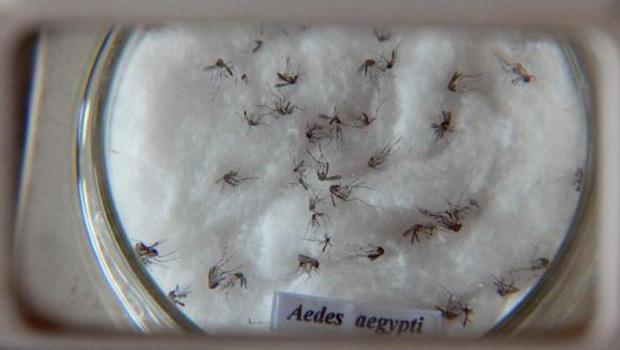 Mosuito Aedes aegypti é vetor de doenças | Arquivo/Agência Brasil