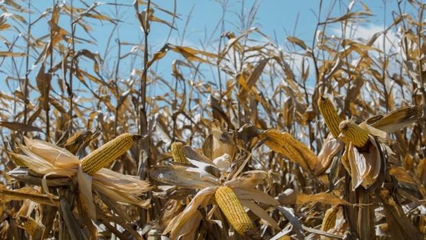 Produção de milho na safra de inverno vai perder 35% de seu potencial de colheita, o que significa 3 milhões de toneladas a menos de grãos | Foto: Karine Viana/ Palácio Piratini