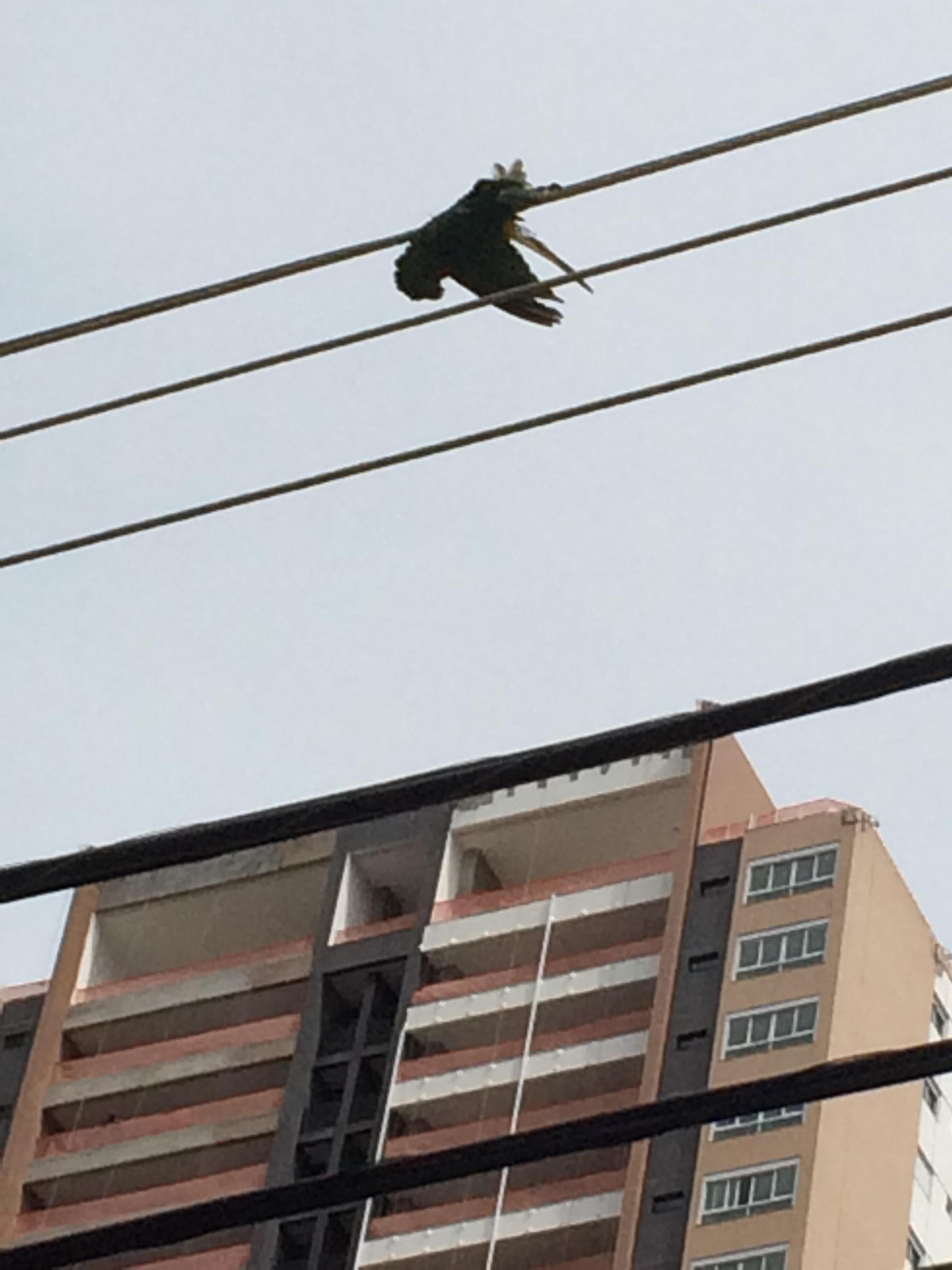 Uma ararinha é eletrocutada na Rua 26, no Setor Marista