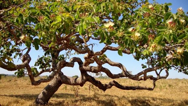 Agora é lei: pequizeiro vira árvore símbolo do Cerrado em Goiás