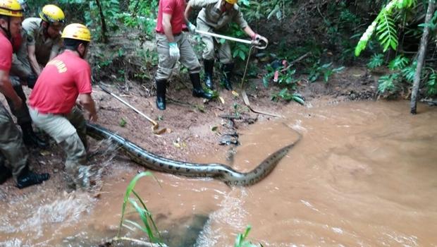 Sucuri de 6 metros é encontrada em condomínio na cidade de Caldas Novas