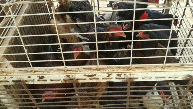 Granja em Goiás distribui 55 mil galinhas a moradores devido a greve