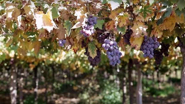 Alexânia apoia a implantação de vinícolas para fomentar a economia local