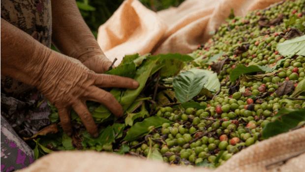 PC de Goiás indicia empresário que adulterava café com cascas e galhos de árvores