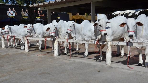 Por causa da greve, animais poderão continuar na pecuária mesmo após fim da exposição
