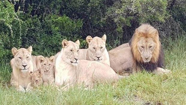Grupo de caçadores é devorado por leões na África do Sul