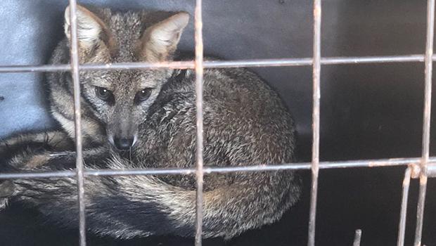 Raposa de espécie em risco de extinção é recuperada e levada ao Parque de Caldas Novas