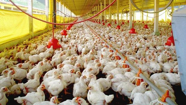 Abertura de mercado da Índia para frango brasileiro pode ser positiva para Goiás