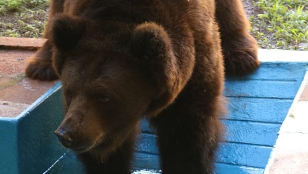 Justiça acata pedido da Prefeitura e determina que urso Robinho permaneça em Goiânia