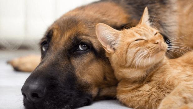 Cães e Gatos podem ser infectados com a Covid-19, mas não transmitem o vírus, conclui especialista