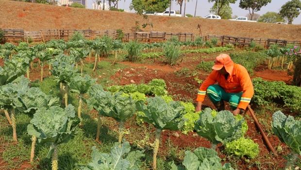 Prefeitura prevê colheita de 300 kg de hortaliças em horta modelo do Paço Municipal
