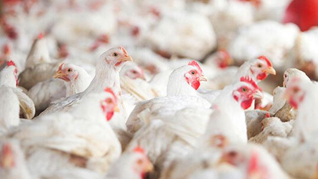 Goiás teve aumento de 37% na exportação de carne de frango