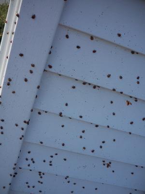 japaneseladybugs