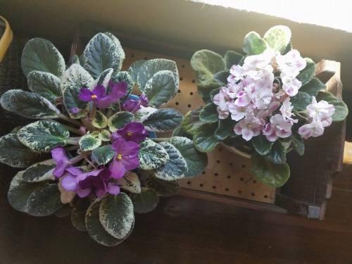violets-8