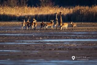 Brdské surikaty