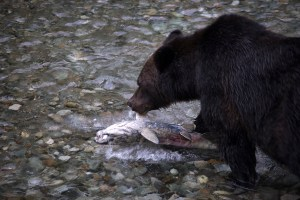 Grizzly and dead salmon