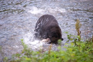 bear attacks fish