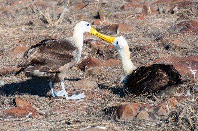 Galapagos - Waved Albatross