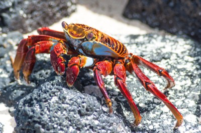 Sally Lightfoot crab.