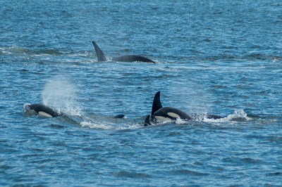 Alaska - Orcas in the waters of Alaska's Inside Passage.