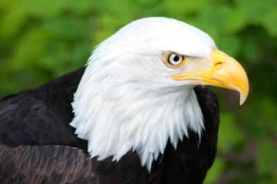 Alaska Bald Eagle.