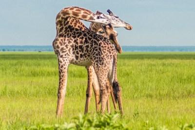 Giraffe courtship.