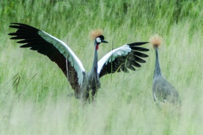Crowned cranes courting dances