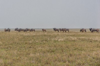 Wildebeest Migration (1)