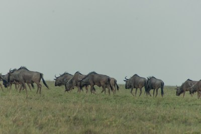 Wildebeest Migration (2)