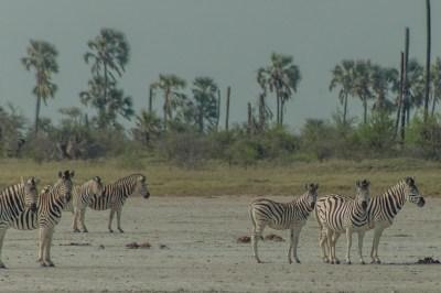 Botswana - Kalahari Zebras.