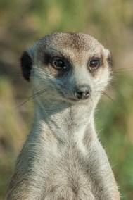 Meerkat close up (2)