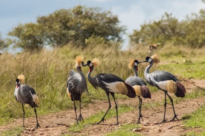 Mara Crowned Cranes