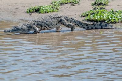 Malawi - Mvuu Crocodiles