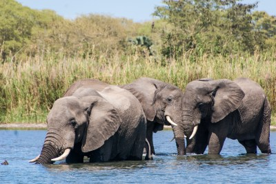 Malawi - Shire Wading Elephants