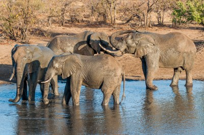 South Africa - Motswari elephants