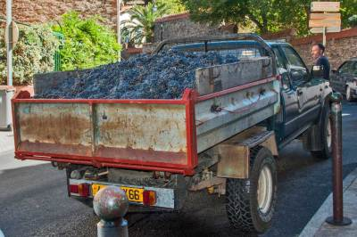 Grapes are brought in from the mountain vineyards to the Celliers des Dominicains winery.