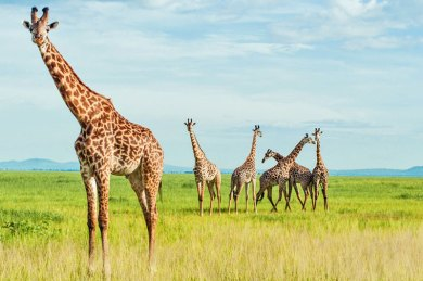 Tanzania-Katavi Giraffes.