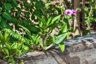 Santhiya-Landcaping orchid.
