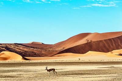 Namib-Springbok