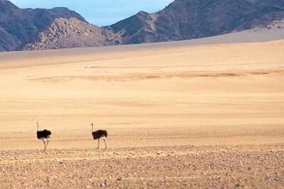 Wildlife in the Namib - Ostriches.