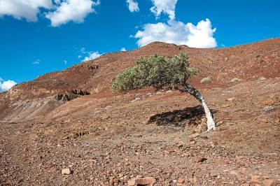 Shepherd's trees are a valuable part of the desert ecosystem