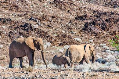 Damaraland-Desert elephants.