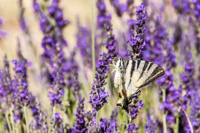 Luberon-lavender butterfly.