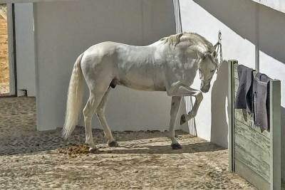 The Andalusian breed has been recognized as a distinct breed since the 15th century