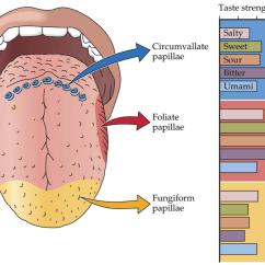 Human Taste Buds Diagram Kel Tec P11 Parts Make With Your Josh Gitalis