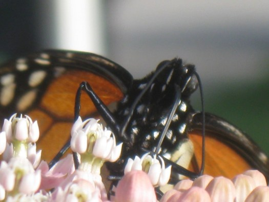 A monarch butterfly sits on one of our milkweed plants. Photo by Jadzia.